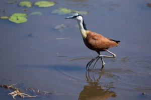African Jacana, Blaustirn-Blatthühnchen. Lake Panic Bird Hide, Kruger-NP.