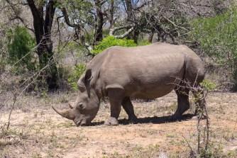 Im Hluhluwe-imfolozi Park begegnen wir Nashörnern, ...