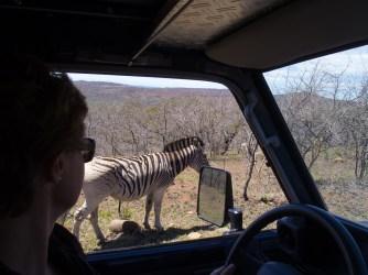 ...Zebras und...