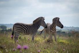 Auch Zebras finden sich in grünen Blumenwiesen. Das ist fast surreal.