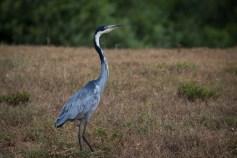 Der Black-headed heron oder Schwarzhalsreiher zeigt sich schon um 6 Uhr beim Wasserloch.