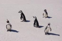 Pinguinkolonie bei Simonstown