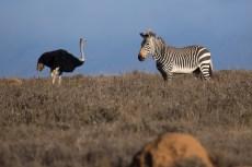 Zebra meets Strauss.