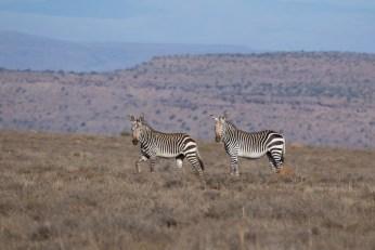 Mountain Zebras im gleichnamigen Nationalpark.