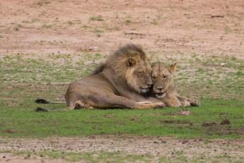 Ein Löwenpaar liebkost sich. So schön.
