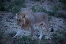 Die Sonne ist noch nicht erwacht, als wir schon auf Löwen stossen. Dieses junge Männchen sucht Wasser.
