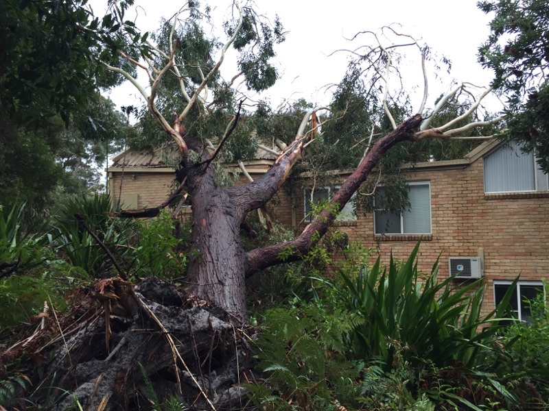 Uprooted tree impacting house
