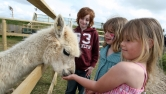 feeding-llama