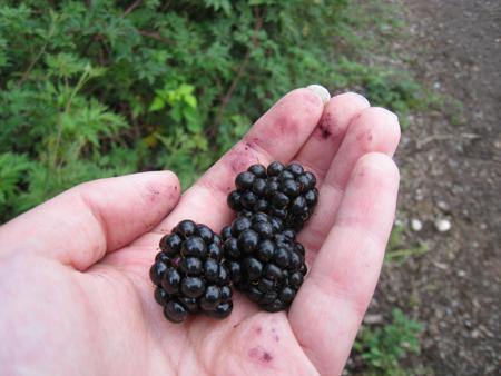 blackberries_picking3