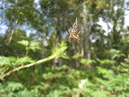 blackberries_spider