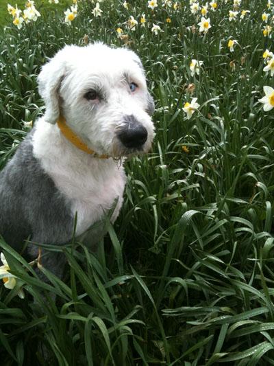 Oscar, the dog, in a field of daffodils