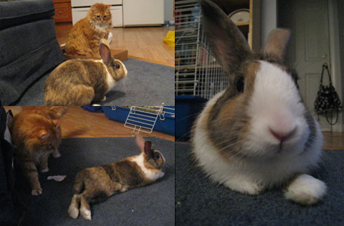 Henry (my cat) and our house guest, Pancakes the Bunny