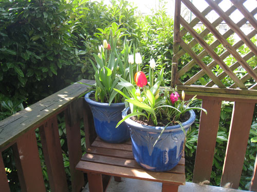 Tulips in full bloom (May)