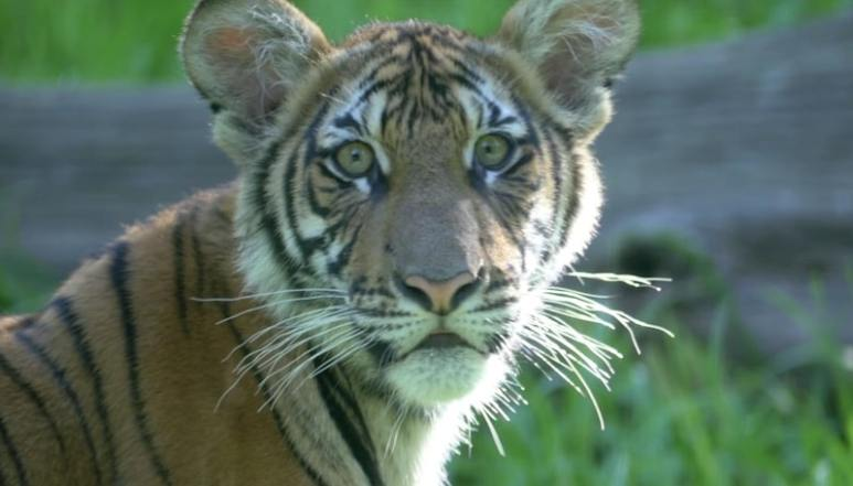 One of the tiger cubs featured in the first episode of The Zoo. Picture: Bronx Zoo