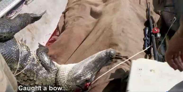 Bowfishing bow and alligator