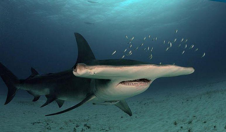 Hammerhead shark conservancy is this year's focus with Oceana