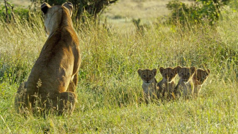 Kali must risk everything to keep her four cubs alive. Pic credit: Discovery/John Downer