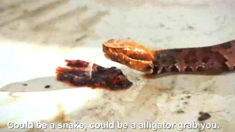 Copperheads are one of the most lethal snakes in the continent and they are worse than gators for lethal danger