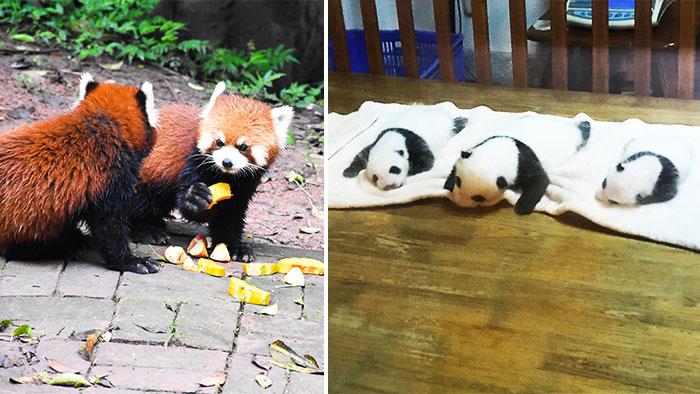 Que-ver-Chengdu-panda-rojo