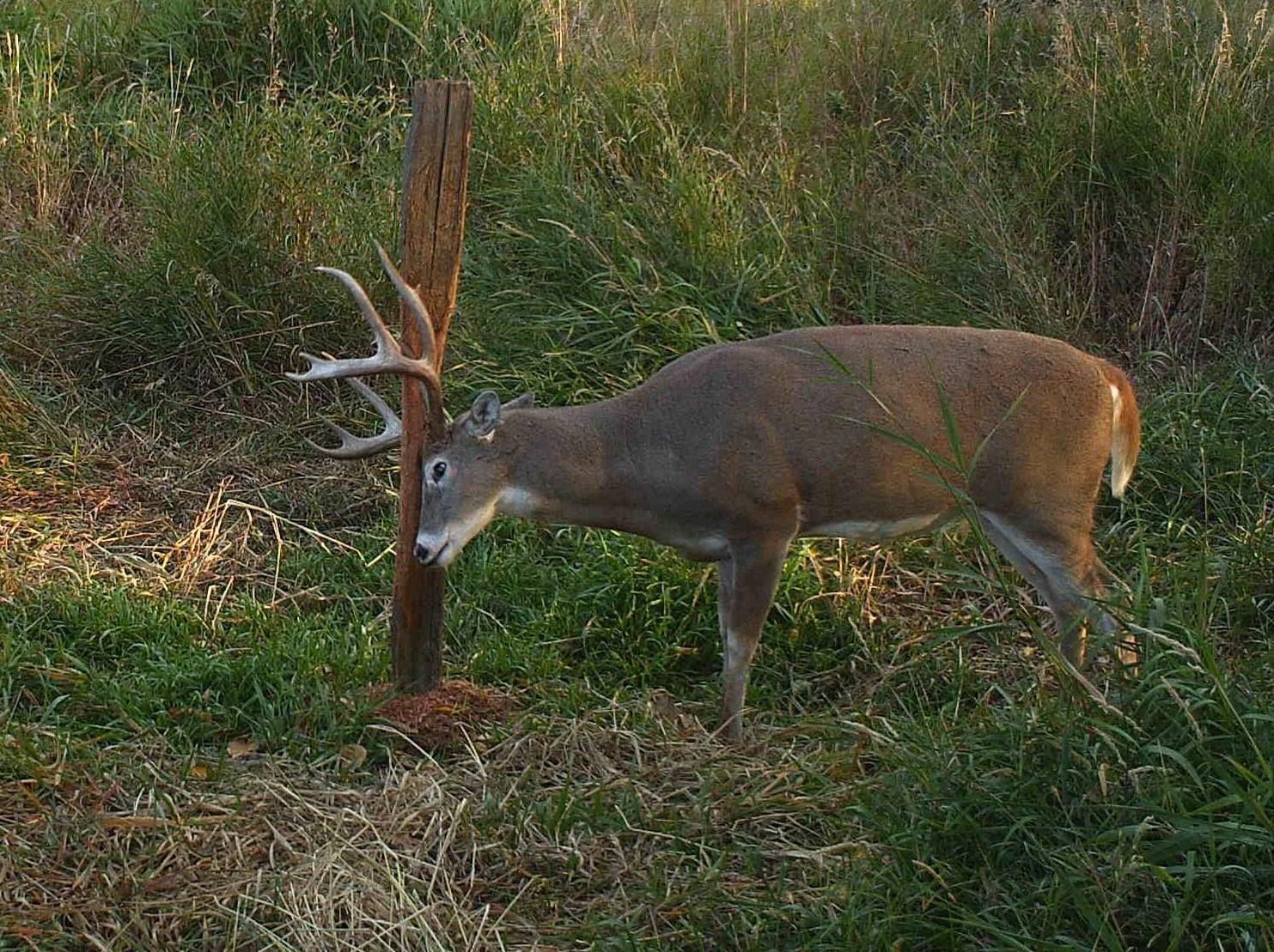 Whitetail Deer Facts You Might Not Know