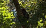 spectacled-owl-pulsatrix-perspicillata-4-27-2009-10-19-52-am