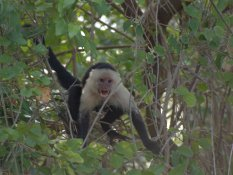white-faced-capuchin-4-25-2009-6-49-42-am