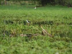 black-necked-stilt-himantopus-mexicanus-05292009-083444