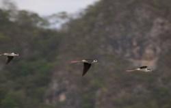 black-necked-stilt-himantopus-mixicanus-05.03.2009-16.12.56.jpg