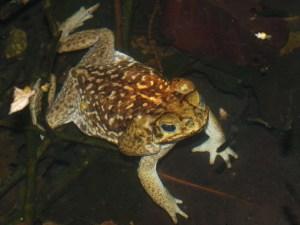 bufonidae-bufo-marinus-04302009-221849