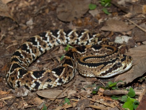 neotropical-rattlesnake-crotalus-durissus-05222009-111222