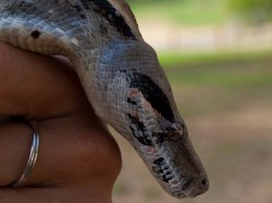 red-tailed-boa-boa-constrictor-05112009-084626