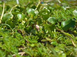 Apple snail eggs on Eichhornia crassipes in enclosure - 07.02.2009 - 09.37.52