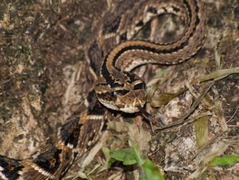 Neotropical Rattlesnake - Viperidae - Crotalus simus - 06.28.2009 - 11.45.50