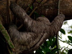 Three-toed sloth - 04.20.2009 - 16.02.20