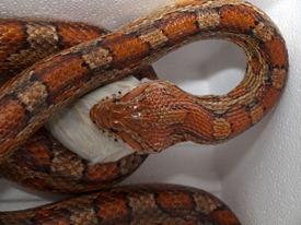 Corn snakes and Boa constrictor feeding - 02.18.2010 - 19.08.35