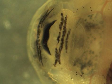 Leiuperidae - Engystomops (Physalaemus) pustulosus tadpole - 07.04.2010 - 19.09.09