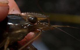 Berried Shrimp - 02.05.2010 - 11.37.05