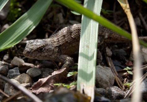 Northern Fence Lizard - Sceloporus undulatus - 09.25.2011 - 13.13.23