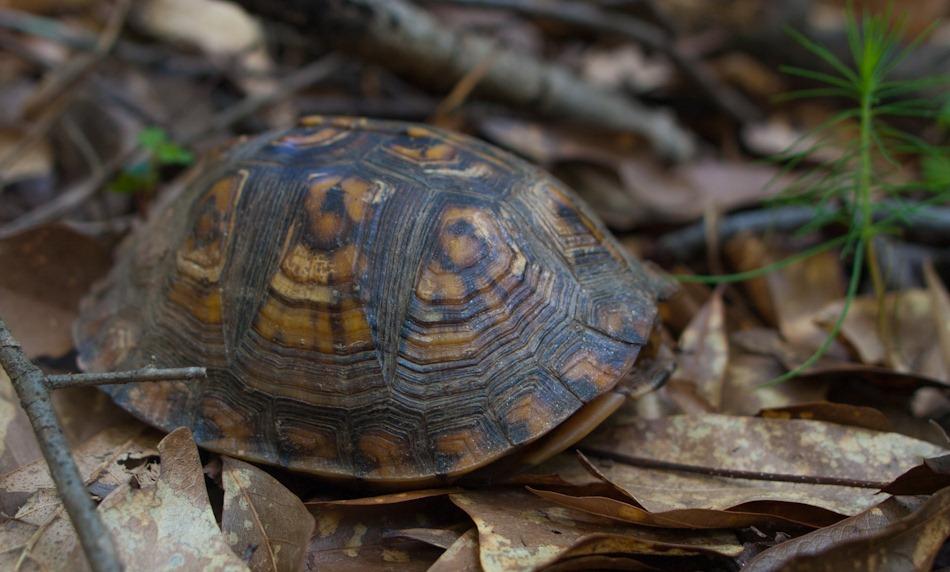 Eastern Box Turtle | Montegraphia