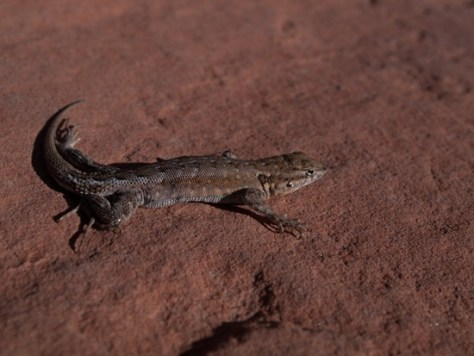 Phrynosomatidae - Sceloporus occidentalis - Western Fence Lizard - 05.03.2012 - 20.07.51