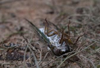 Eastern Cicada Killer - Sphecius speciosus - 20120903 - 18