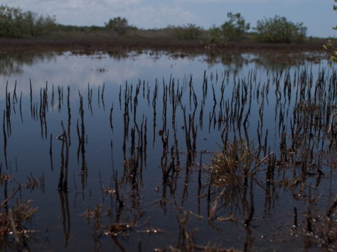 Pneumatophores arising from the roots of the black mangroves allow the roots to survive in the low-oxygen sediments commonly occurring in salty, wet environments.