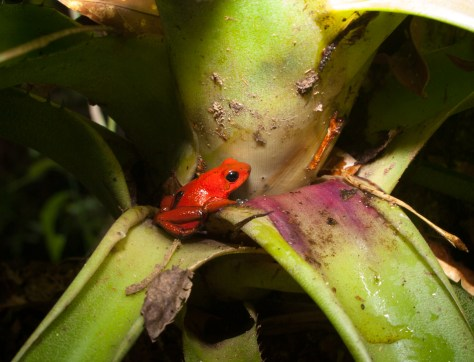 Blue-jeans frog - Oophaga pumilio with tadpole - 20130618 - 1