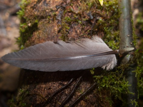 Great Tinamou Feather - Tinamus major - 20130621 - 1
