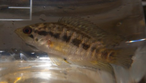 Cichlidae - Parachromis loisellei - 20130704 - 2