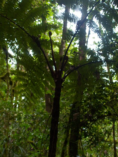 Tree Ferns - 20130707 - 1