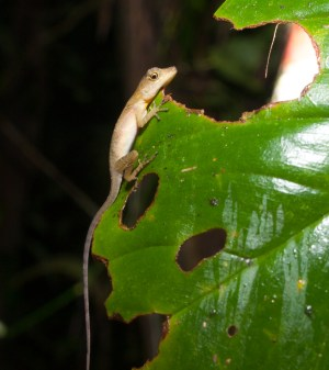 Norops polylepis - Sleeping ground anole - 20130714 - 1