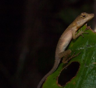 Norops polylepis - Sleeping ground anole - 20130714 - 2
