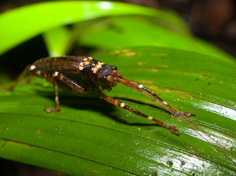 Orthoptera Tettigoniidae - 20130714 - 8