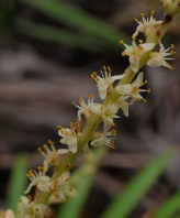 Saw Palmetto - Serenoa repens - 06.01.2014 - 08.54.41